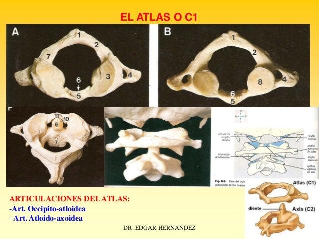 EL ATLAS O C1  ARTICULACIONES DEL ATLAS: -Art. Occipito-atloidea - Art. Atloido-axoidea DR. EDGAR HERNANDEZ