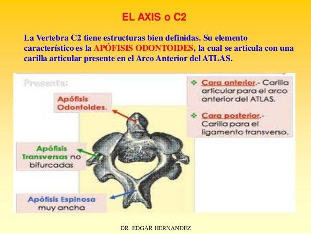 EL AXIS o C2 La Vertebra C2 tiene estructuras bien definidas. Su elemento característico es la APÓFISIS ODONTOIDES, la cua...