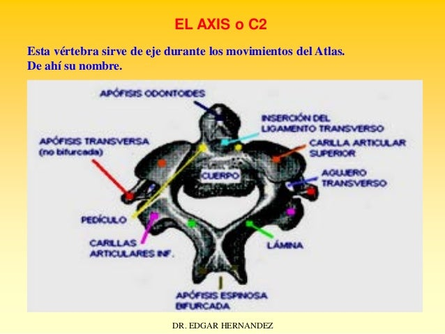 EL AXIS o C2 Esta vértebra sirve de eje durante los movimientos del Atlas. De ahí su nombre.  DR. EDGAR HERNANDEZ