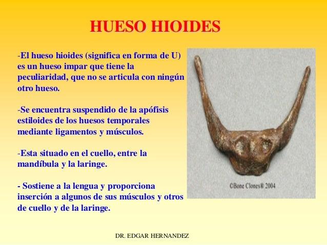 HUESO HIOIDES -El hueso hioides (significa en forma de U) es un hueso impar que tiene la peculiaridad, que no se articula ...
