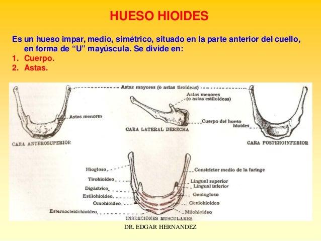 """HUESO HIOIDES Es un hueso impar, medio, simétrico, situado en la parte anterior del cuello, en forma de """"U"""" mayúscula. Se ..."""