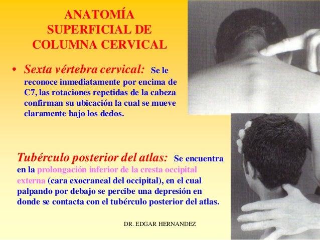 ANATOMÍA SUPERFICIAL DE COLUMNA CERVICAL • Sexta vértebra cervical:  Se le reconoce inmediatamente por encima de C7, las r...
