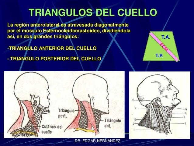 TRIANGULOS DEL CUELLO La región anterolateral es atravesada diagonalmente por el músculo Esternocleidomastoideo, dividiénd...