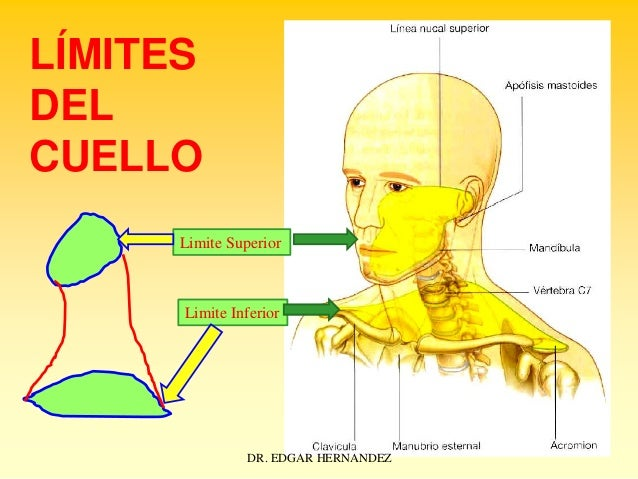 LÍMITES DEL CUELLO Limite Superior  Limite Inferior  DR. EDGAR HERNANDEZ
