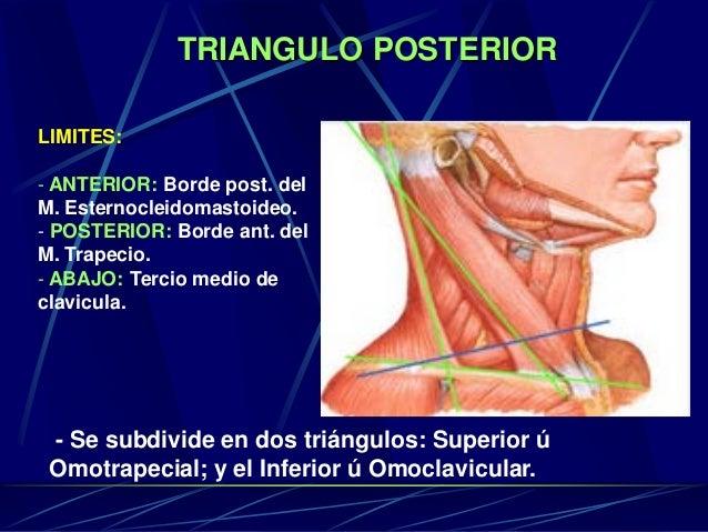TRIANGULO POSTERIOR LIMITES: - ANTERIOR: Borde post. del M. Esternocleidomastoideo. - POSTERIOR: Borde ant. del M. Trapeci...