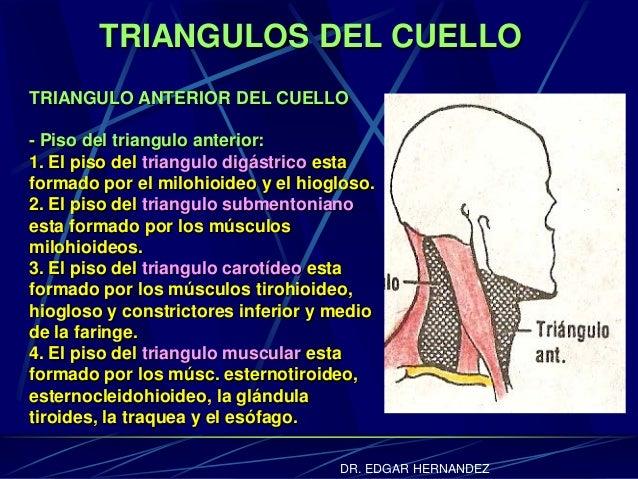 TRIANGULOS DEL CUELLO TRIANGULO ANTERIOR DEL CUELLO - Piso del triangulo anterior: 1. El piso del triangulo digástrico est...