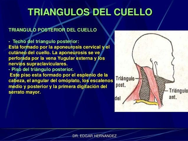 TRIANGULOS DEL CUELLO TRIANGULO POSTERIOR DEL CUELLO - Techo del triangulo posterior: Está formado por la aponeurosis cerv...