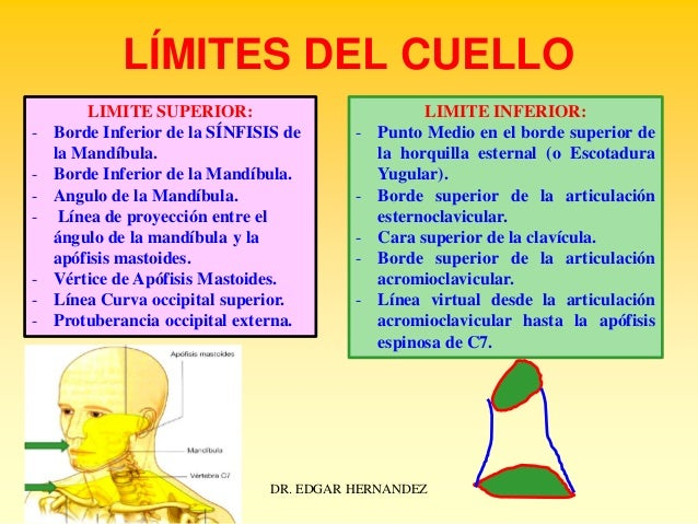 LÍMITES DEL CUELLO -  -  LIMITE SUPERIOR: Borde Inferior de la SÍNFISIS de la Mandíbula. Borde Inferior de la Mandíbula. A...