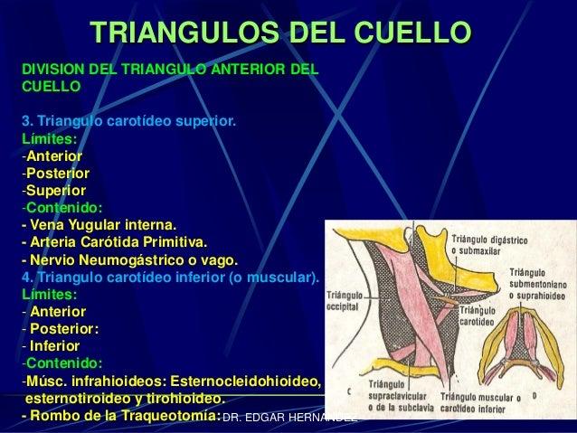 TRIANGULOS DEL CUELLO DIVISION DEL TRIANGULO ANTERIOR DEL CUELLO 3. Triangulo carotídeo superior. Límites: -Anterior -Post...