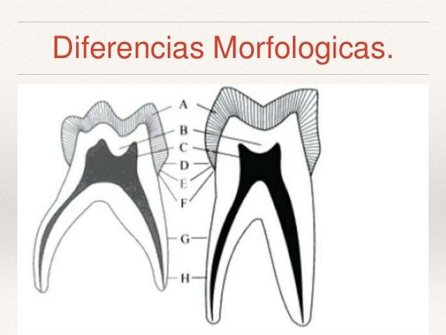 Clase 1 anatomia dientes temporales y permanentes ( tec.odont)