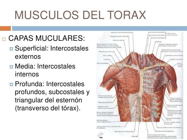 Magnífico Anatomía De La Pared Posterior Del Tórax Imagen - Anatomía ...