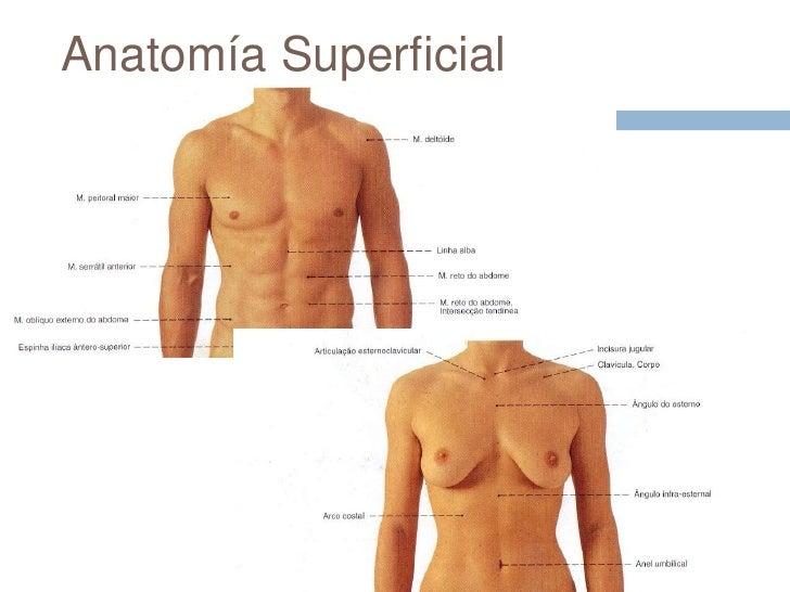 Moderno Anatomía De Superficie Tórax Patrón - Anatomía y Fisiología ...