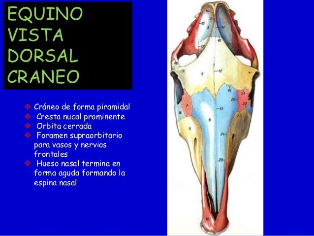 Docx Anatomía Del Caballo - Evelocal