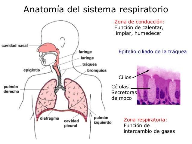 Clase 2. Fisiologia Respiratoria