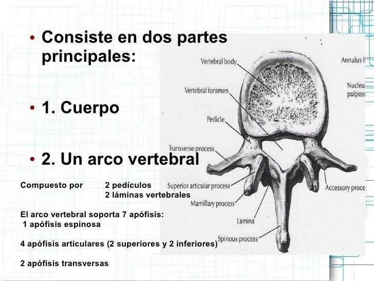 Asombroso Anatomía ósea Cervical Ornamento - Anatomía de Las ...