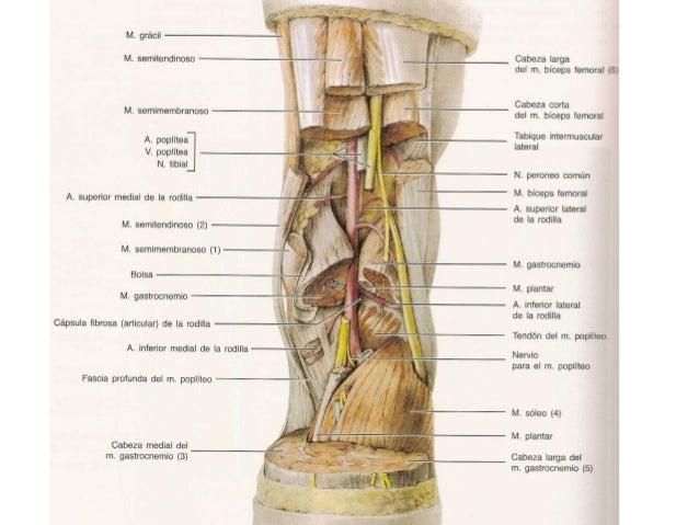 ANATOMIA FEMORALES POSTERIORES