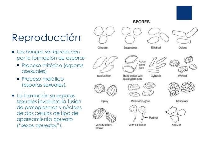 Formacion de esporas reproduccion asexual imagenes