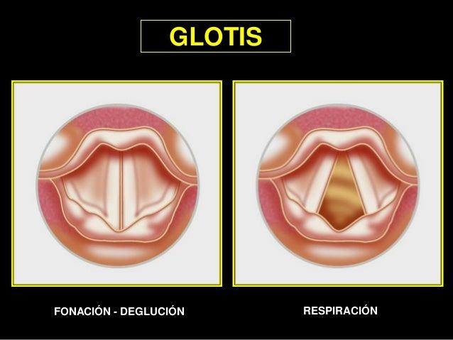 2 3 4 1 2 2 1 GLOTIS FONACIÓN - DEGLUCIÓN RESPIRACIÓN