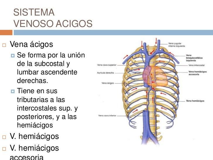 Perfecto ácigos La Anatomía Venosa Bandera - Anatomía de Las ...