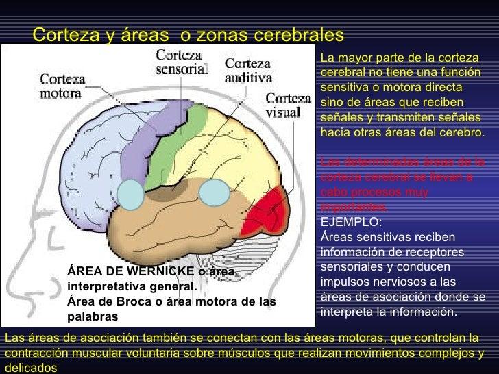 Encantador Es La Parte Del Cerebro Del Sistema Nervioso Ornamento ...