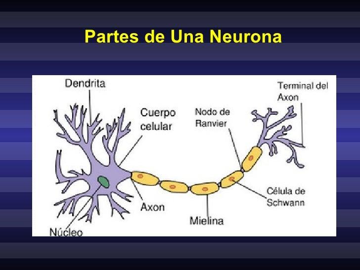 Sistema nervioso y Neuronas