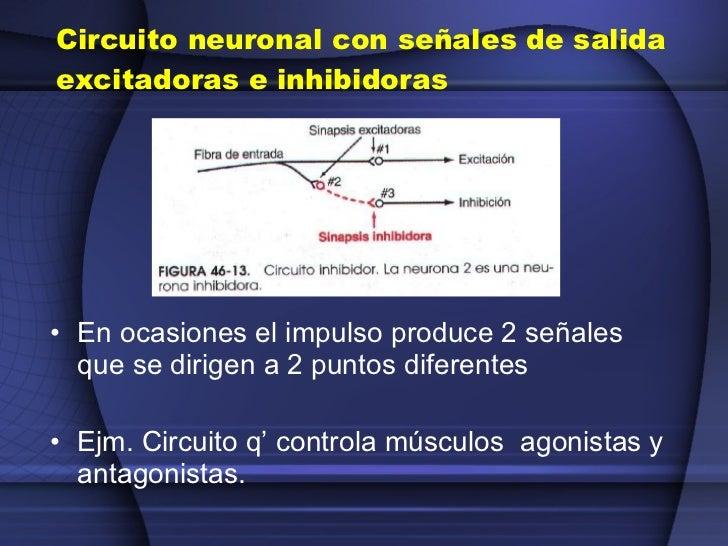 Circuito Neuronal : Clase receptores sencitivos circuitos neuronales