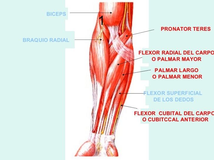 Atractivo Anatomía Brazo Humano Ornamento - Anatomía de Las ...