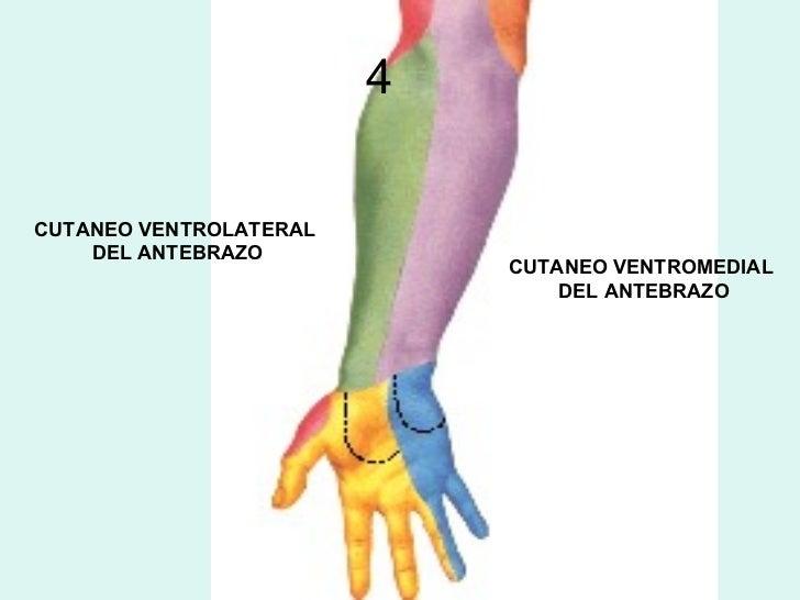Clase N°4 Anatomia Humana - Tema: Ante Brazo