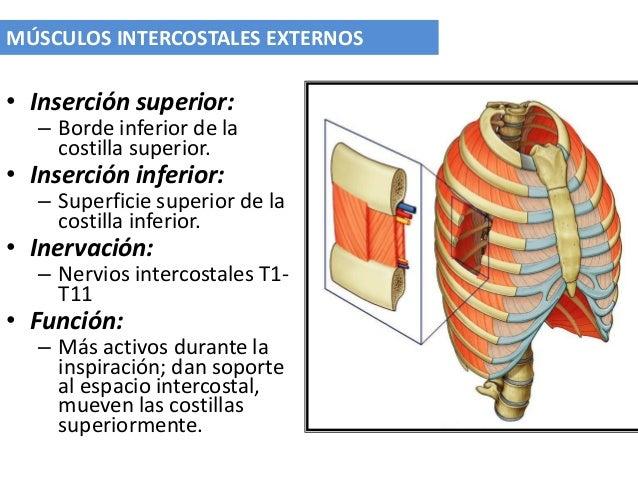 Los músculos intercostales el magullado - Musculos intercostales