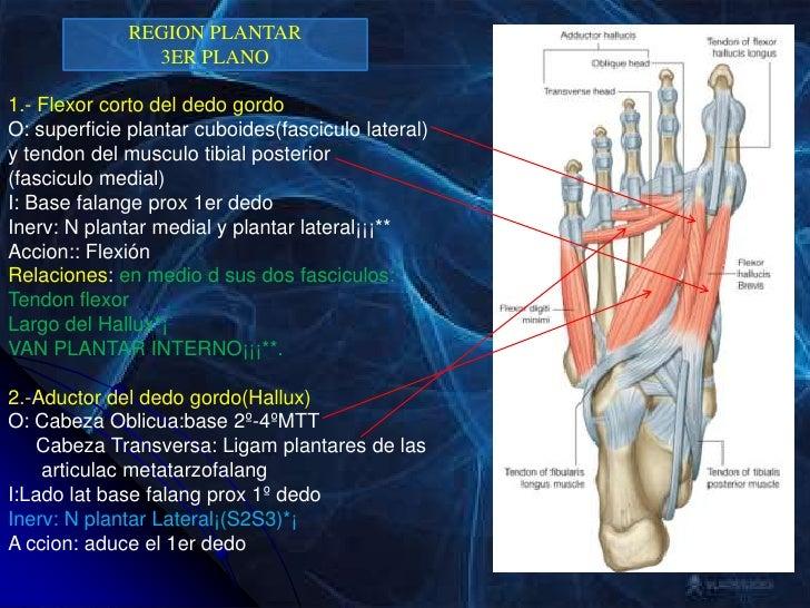 Anatomia Grupo Atlas Clase 5 Miembro Inferior Pie