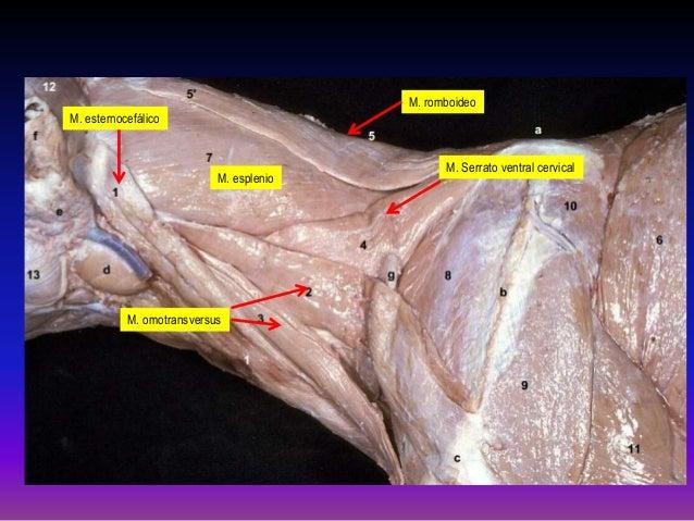 Slot ventral cervical perros