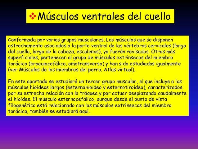 Clase 5 musculos cabeza tronco for Esternohioideo y esternotiroideo