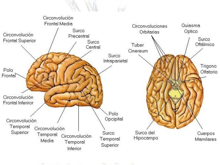 Único Cerebro Estructuras Y Funciones Diagrama Ideas - Anatomía de ...
