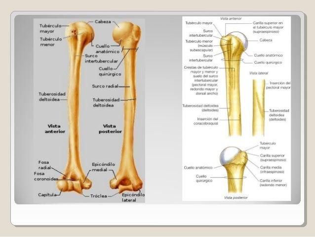 Anatomia del brazo y codo