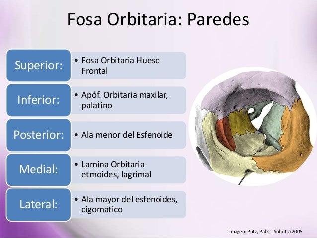 Clase de anatomia 04 03 realizadas por la prof diana pern a for Paredes orbitarias