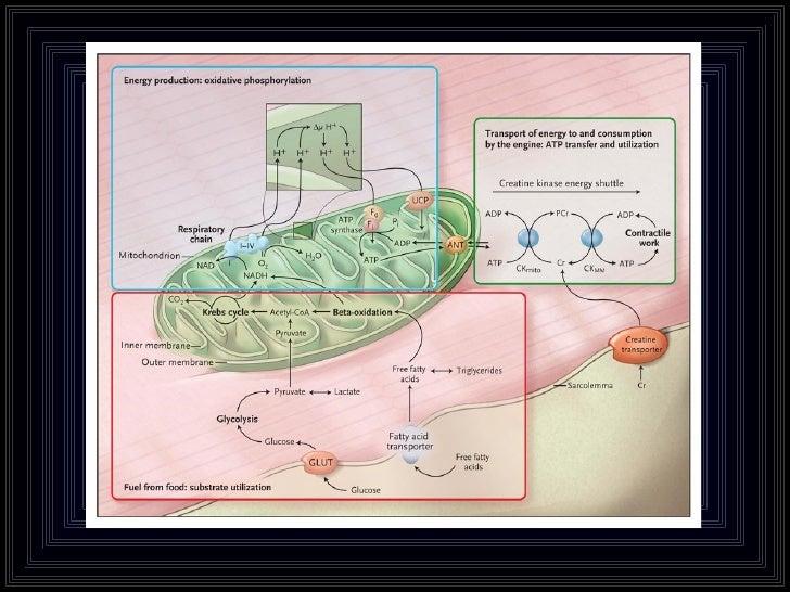 Clase de mitocondria