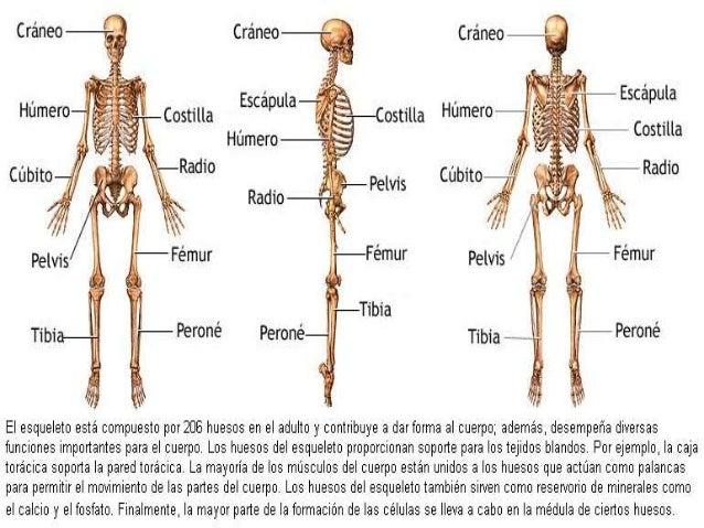 Clase de osteología de miembro superior e inferior