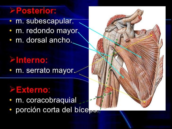 Lujoso Anatomía Región Axial Inspiración - Anatomía y Fisiología del ...