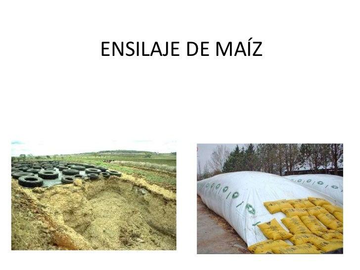ENSILAJE DE MAÍZ<br />