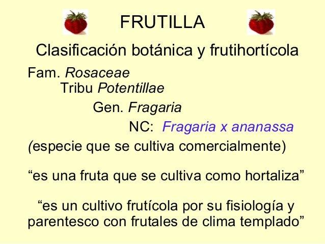"""Fam. RosaceaeTribu PotentillaeGen. FragariaNC: Fragaria x ananassa(especie que se cultiva comercialmente)""""es una fruta que..."""