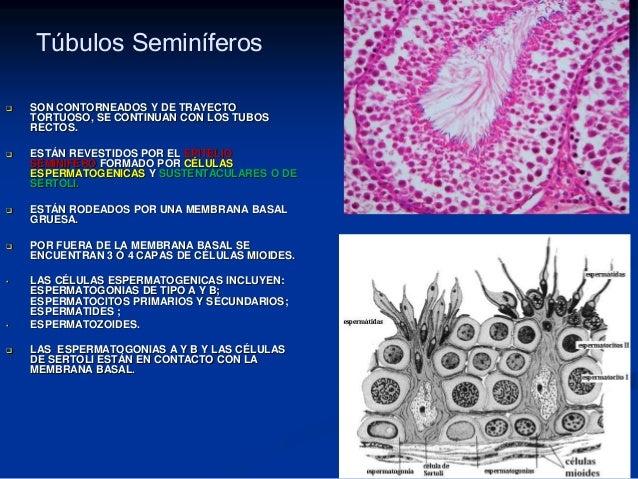 Histología Aparato Genital Masculino