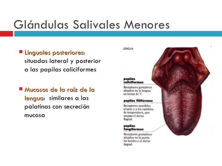 Único Glándulas Salivales Anatomía Adorno - 4TW