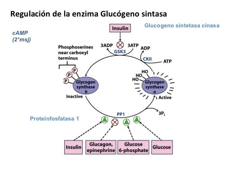 Metabolismo del Glucógeno