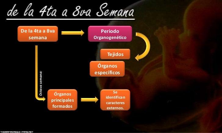 Organogenesis (Embriología) Slide 2