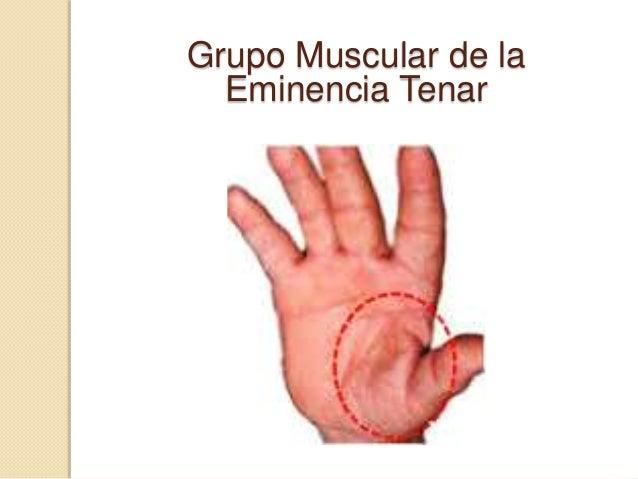  Abductor corto del pulgar: desde el ligamento transcarpiano, tubérculo del trapecio y escafoides, hasta el borde radial ...