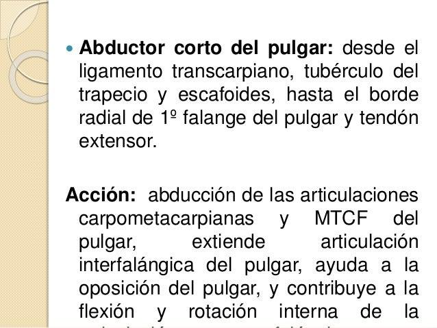  Oponente del pulgar: desde el ligamento transcarpiano y tubérculo del trapecio, hasta borde radial del 1º MTC. Acción: o...