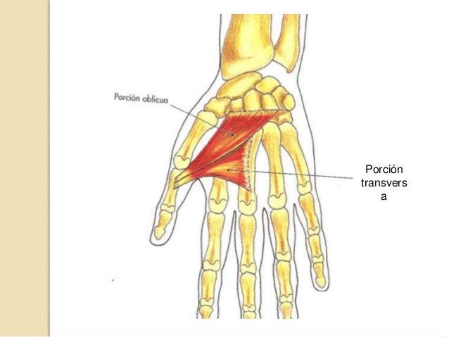 Palmar Cutáneo: Desde Aponeurosis Palmar y lig. Transcarpiano, hasta la piel del borde cubital de la mano. Acción: Frunc...