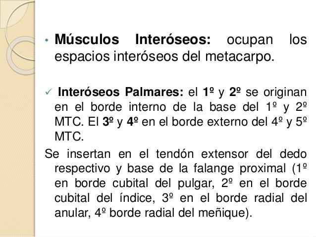 • Músculos Interóseos: ocupan los espacios interóseos del metacarpo.  Interóseos Palmares: el 1º y 2º se originan en el b...
