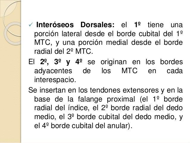  Interóseos Dorsales: el 1º tiene una porción lateral desde el borde cubital del 1º MTC, y una porción medial desde el bo...