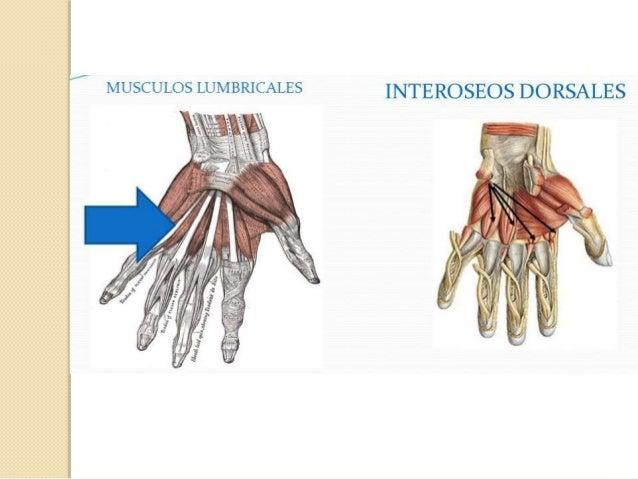 Acción de los Interóseos: *Dorsales y Palmares: Flexionan la falange prox. y extienden las otras distales. *Interóseos Dor...